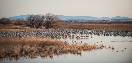 Sandhill Cranes at first light