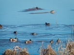 Northern Shovelers in the foreground