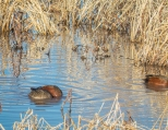 Cinnamon Teal male and female feeding together