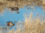 Gadwall and Northern Shoveler