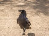 Common Raven