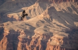 Raven soaring over the canyon