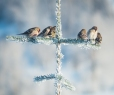 Common Redpolls and Pine Siskin
