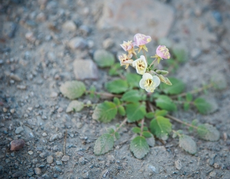 I think this is brown-eyed evening primrose (camissonia claviformis)
