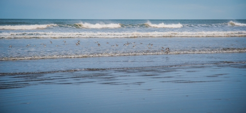 A small flock of shorebirds