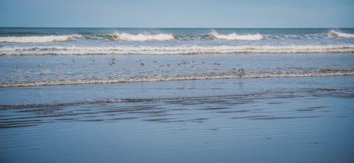 A small flock of shorebirds