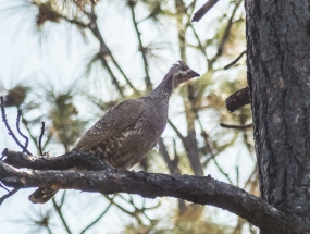 Another grouse
