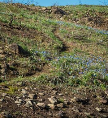 Trail through bluebells