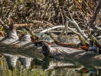 Painted turtles