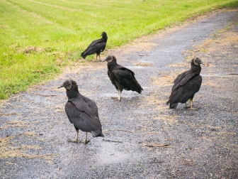 Black Vultures are common
