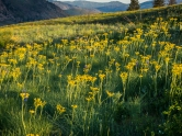 Groundsel is about the same color as balsamroot and has replaced it on our hillside, keeping the yellow theme for a little while longer