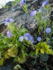 This Phacelia is much reduced compared to last year when it grew vigorously and everywhere.