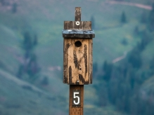 Western Bluebirds are using this nest box