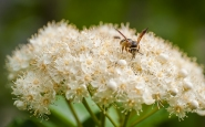 Mountain ash flower with pollinator.
