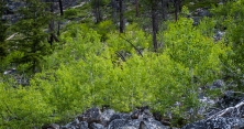 Aspens growing out of the galus