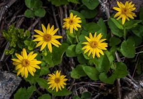 Douglas sunflowers