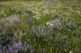 Lupine and yarrow