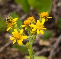 I enjoyed watching this bee on a flower that looks like groundsel.