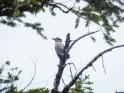 Noisy Hairy Woodpecker. I wonder if she had a nest nearby.
