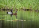 A pair of Ring-necked Ducks