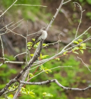 Unkown Empidonax flycatcher. Any thoughts on its ID would be appreciated. It did not call or sing as I observed it.