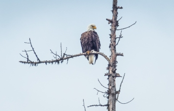 This Bald Eagle kept a close eye on the loon nest