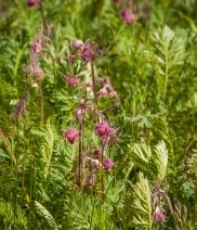 Prairie smoke, Geum sp.