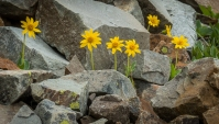 Arnica peaking out of the talus slope