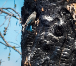 Female Mountain Bluebird feeding young