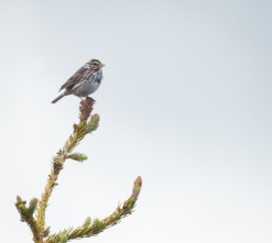 I think this is a Savannah Sparrow