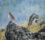 Horned Larks nest on the side of Tiffany