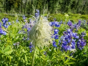 Western anemone seedhead and lupine