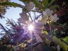 Sun shining through native rhododendron