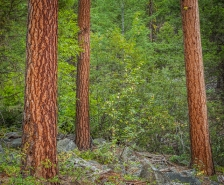 Ponderosa pine trees