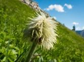 Western anemone seedhead