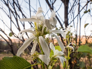A very late-blooming serviceberry