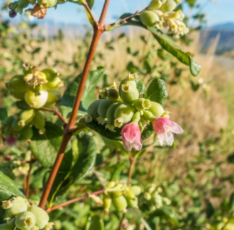 Interesting that the snowberry shows both flowers and berries at the same time