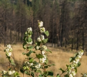 And snowberry is somewhat fire-resistant so that's a good thing