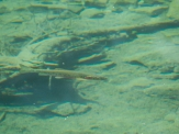 Cutthroat trout in Blue Lake