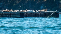 Seals like the mussel platforms