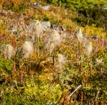 Anemone seed heads linger from early summer