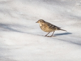 There was a flock of these American Pipits foraging on the snow