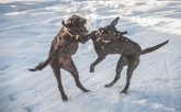 They love to play rough in the snow.