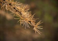 Tiny larch needles