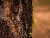 Wolf lichen on bark