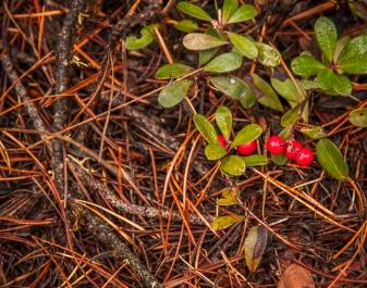 Kinnickkinnick berries?