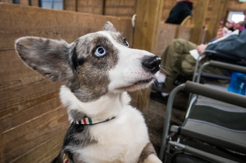 This is Bisbee Blue, a cardigan corgi