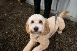 Teddy is a miniature Australian labradoodle