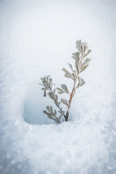 Sage sprig emerging from the snow.