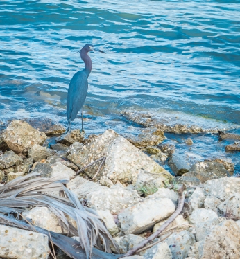 Little Blue Heron that we saw in Belize City
